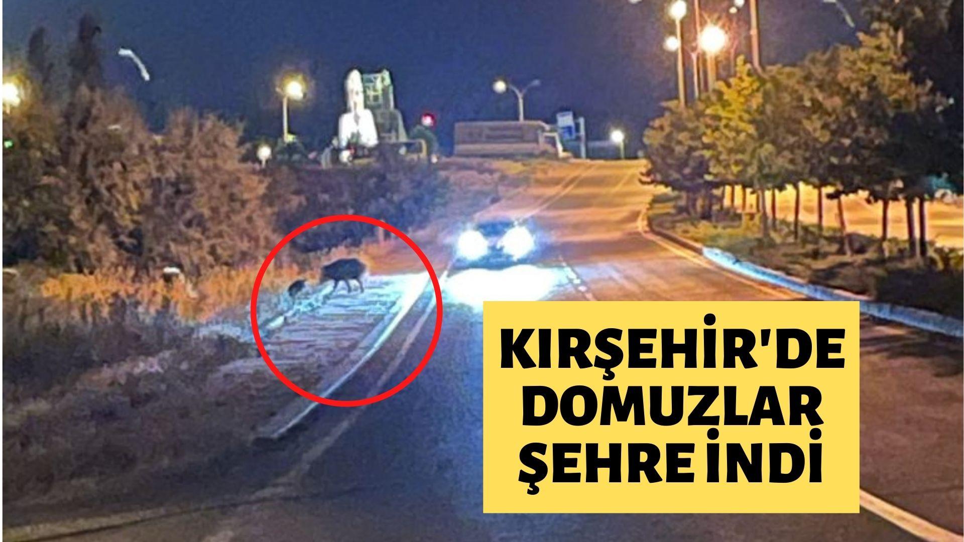 Kırşehir'de domuzlar şehre indi